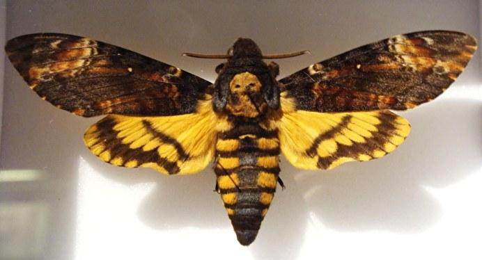 deaths-head-hawk-moth